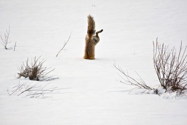 O vulpe roșie vânează un șoarece ascuns sub zăpadă