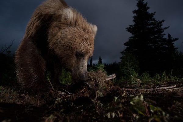 Urs brun sălbatic