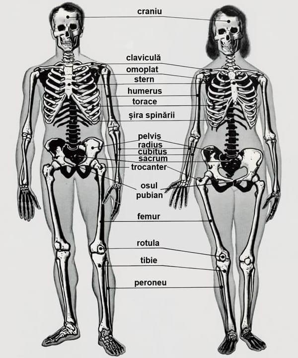 Anatomia genurilor - Schelet