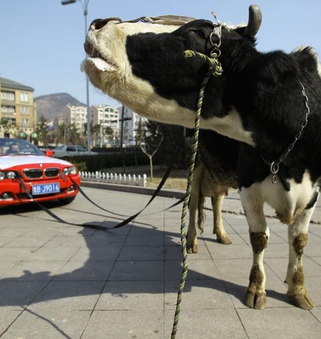 BMW tras de vacă