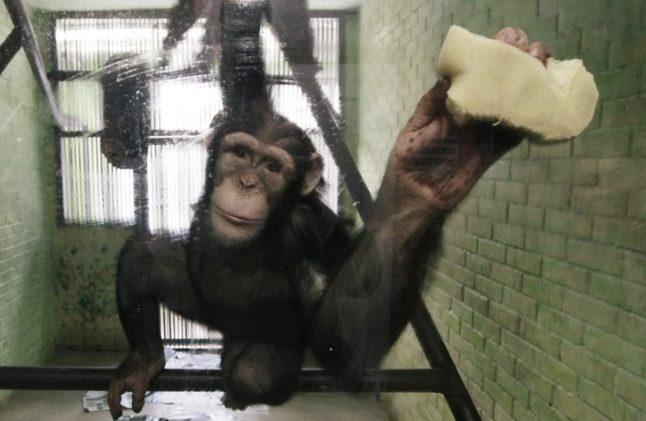 O maimuță spală geamul