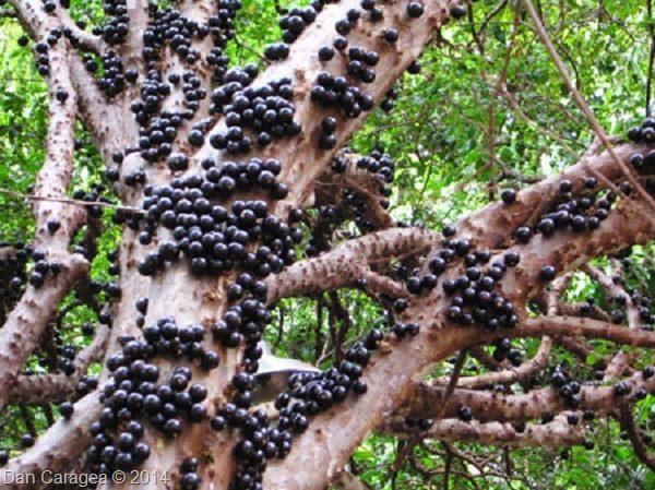 Fructe - Jabuticaba
