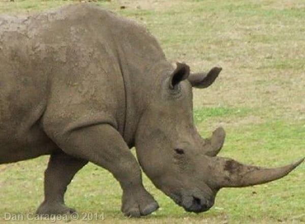 Cele mai scumpe substanțe - Corn de rinocer