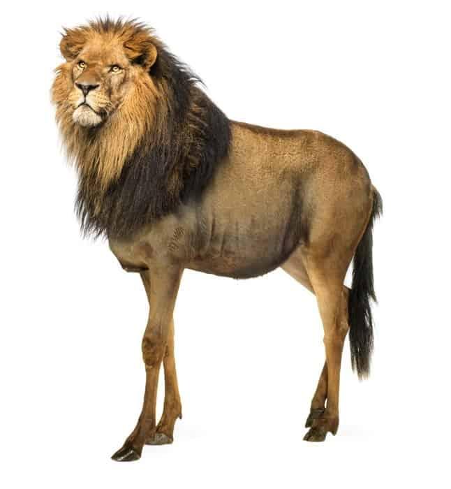 Devenim ceea ce mâncăm - Leu și antilopă gnu