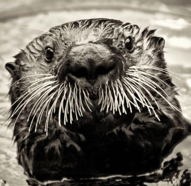 animale cu mustață 10