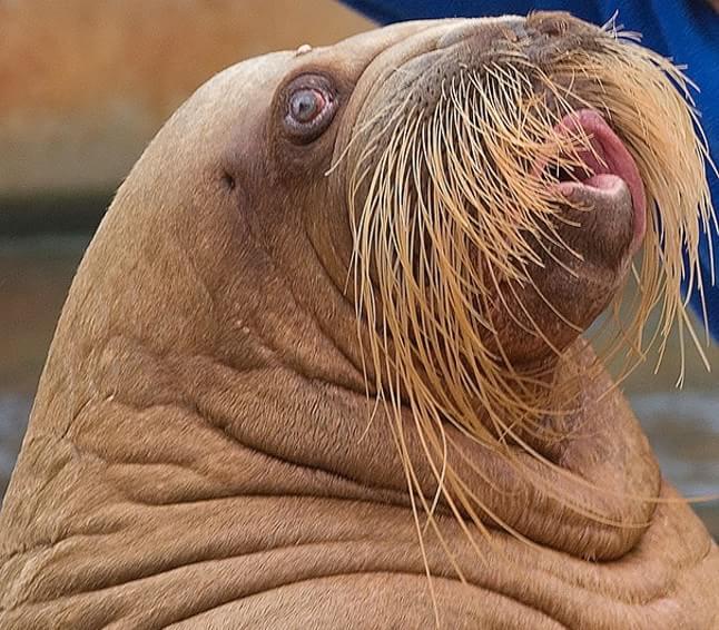 animale cu mustață 11