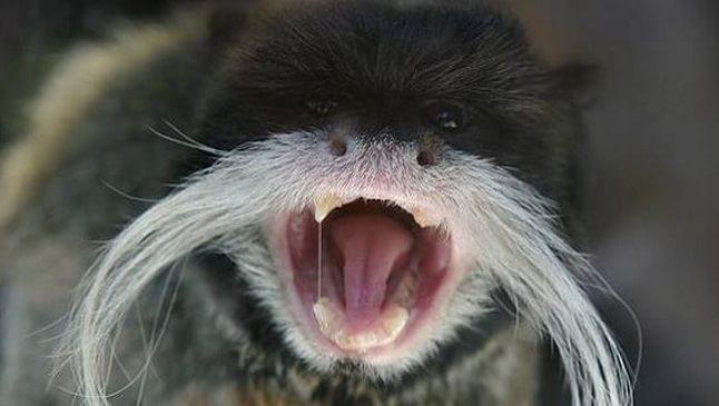 animale cu mustață 12