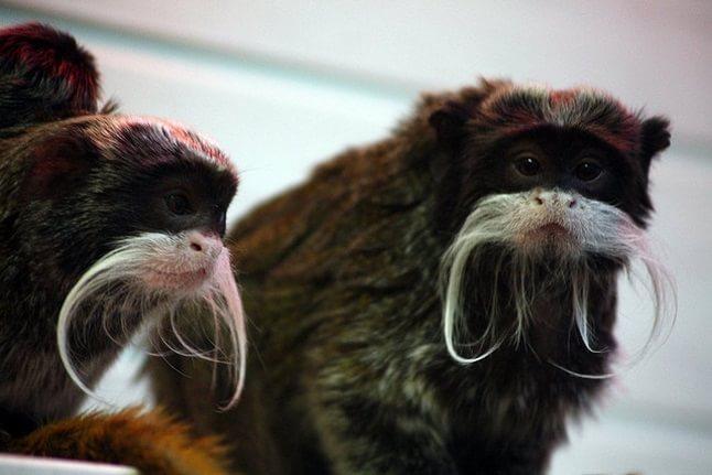 animale cu mustață 9