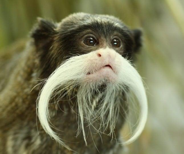 animale cu mustață