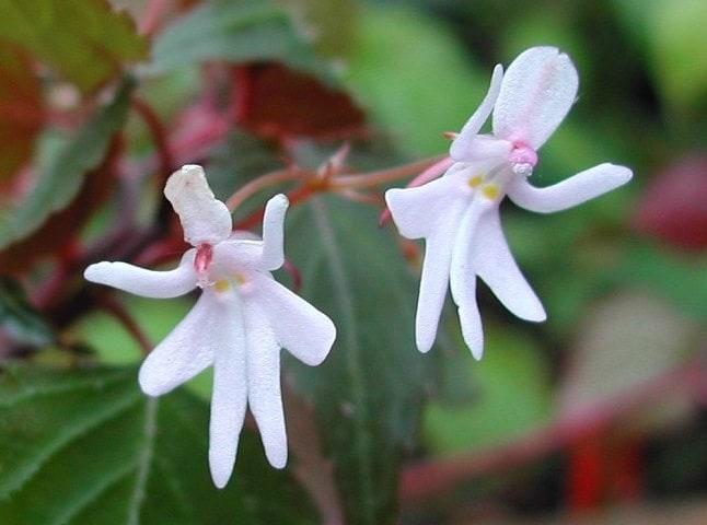 Cele mai neobișnuite flori - Dansatoare