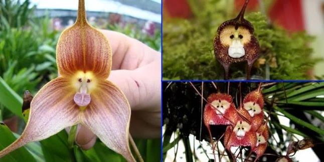 Cele mai neobișnuite flori - Față de maimuță