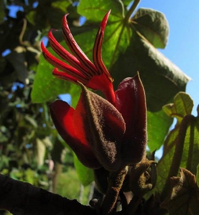 Cele mai neobișnuite flori - Mâna diavolului