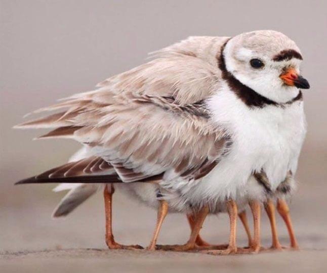 Păsărica cu multe picioare