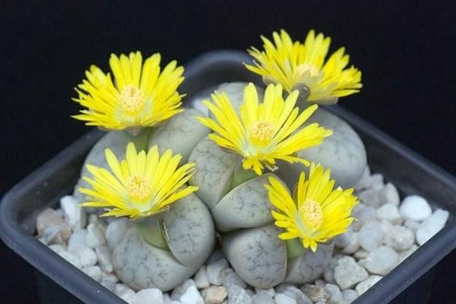 Cele mai neobișnuite flori - Piatra vie