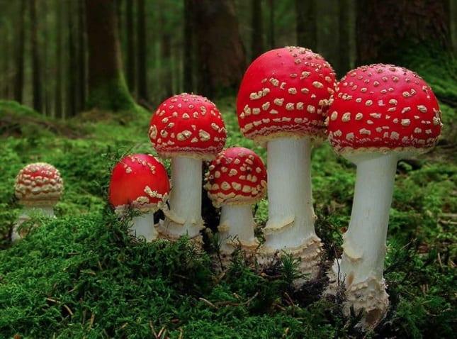 Cele mai frumoase ciuperci - Amanita muscaria