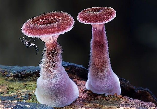Cele mai frumoase ciuperci - Panus fasciatus