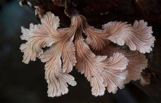 Cele mai frumoase ciuperci - Schizophyllum commune
