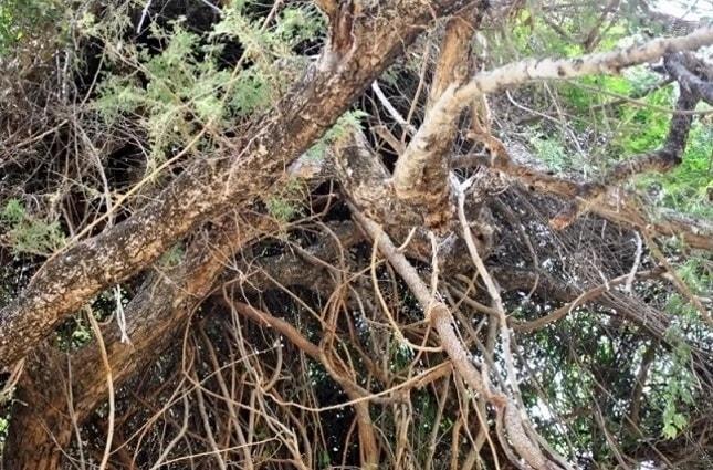 Leopard în copac