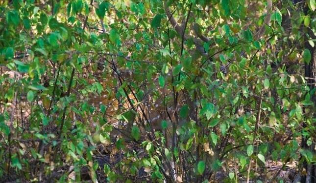 Vietăți camuflate - Antilopă impala