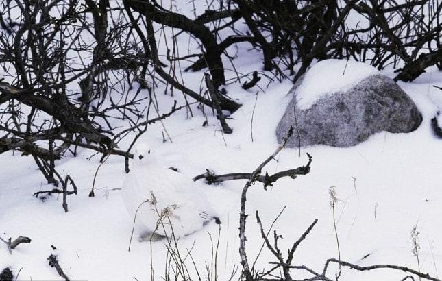 Vietăți camuflate - Găinușă polară