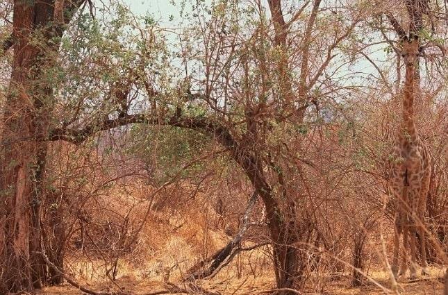Vietăți camuflate - Girafă