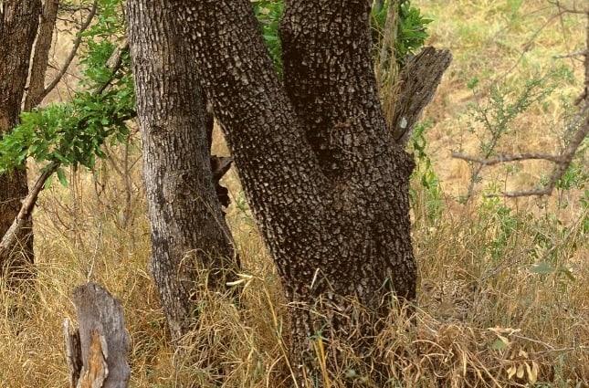 Vietăți camuflate - Leopard