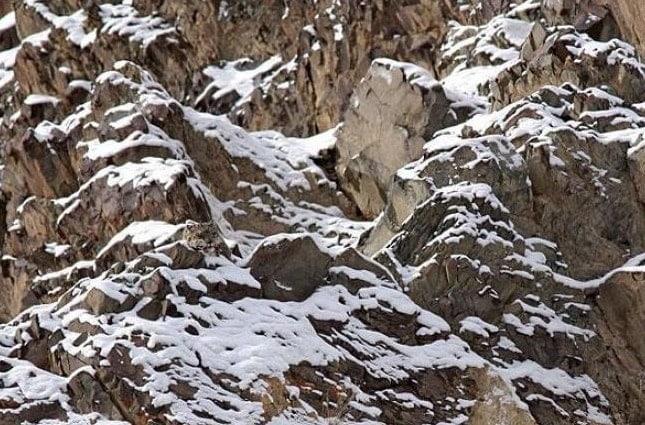 Vietăți camuflate - Leopardul zăpezilor