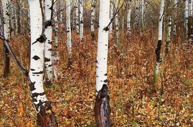 Vietăți camuflate - Lup în pădure