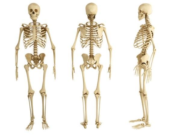 Cultură generală - scheletul uman