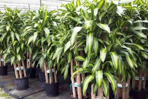 Plante care purifică aerul - Dracena