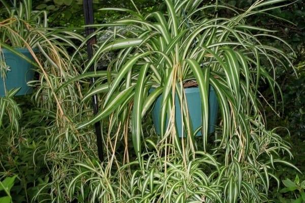 Plante care purifică aerul - Planta-păianjen