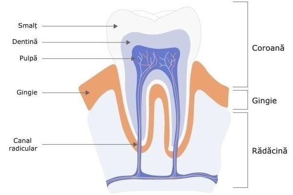 Regenerarea dinților